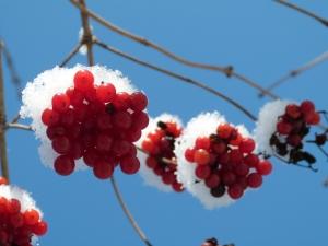 dutch winter berries